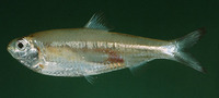 Escualosa thoracata, White sardine: fisheries
