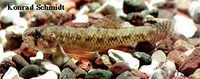 Etheostoma microperca, Least darter: