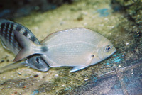 Diplodus argenteus argenteus, South American silver porgy: fisheries, gamefish