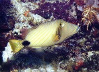 Balistapus undulatus, Orange-lined triggerfish: fisheries, aquarium