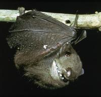 Image of: Haplonycteris fischeri (Philippine pygmy fruit bat)