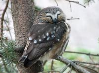 Image of: Aegolius acadicus (northern saw-whet owl)