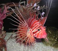 Image of: Pterois radiata