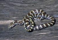 Image of: Lampropeltis triangulum (milk snake)