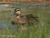 Pacific Black Duck - Anas superciliosa