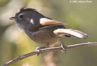 Spectacled Fulvetta - Alcippe ruficapilla