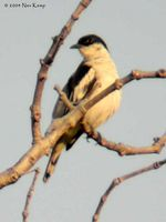 White-shouldered Triller - Lalage sueurii