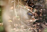 Coquerel's Coua (Coua coquereli) photo