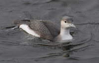 Arctic Loon (Gavia arctica) photo