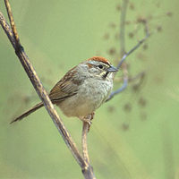 Rufous-crowned Sparrow (Aimophila ruficeps) photo
