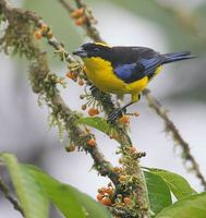 Blue-winged Mountain-Tanager (Anisognathus somptuosus) photo