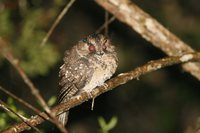 Mountain Owlet-Nightjar - Aegotheles albertisi