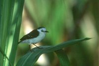 Black-backed Water-Tyrant - Fluvicola albiventer