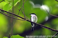 Black-winged Flycatcher-shrike - Hemipus hirundinaceus