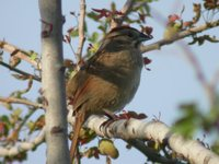 Rusty Sparrow - Aimophila rufescens
