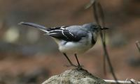 Mountain (Long-tailed) Wagtail