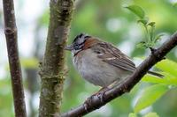 Chingolo (o Copet??n) - Rufous-collared Sparrow