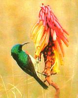 Doppelbandnektarvogel/Northern double-collared sunbird (Nectarinia preussi kikuyuensis)