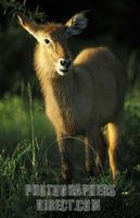 ...Young Defassa waterbuck ( Kobus ellipsiprymnus defassa ) , Queen Elisabeth National Park , Ugand