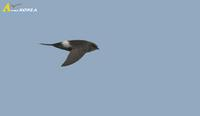 Fig. 6. White-rumped Swift : 칼새