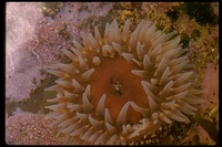 : Urticina sp.; Sea Anemone