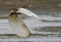 Chinese Pond Heron. Boon Tsagaan Nuur, June 2007