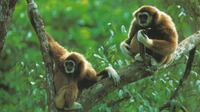 photograph of white-handed gibbons