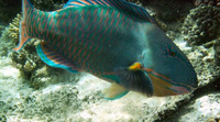 Cetoscarus bicolor, Bicolour parrotfish: fisheries, aquarium