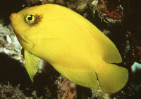 Centropyge heraldi, Yellow angelfish: aquarium