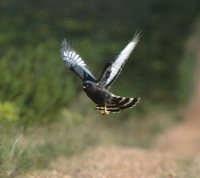 Black Harrier - Circus maurus