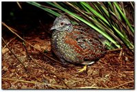 Painted Buttonquail - Turnix varia