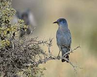 Pinyon Jay (Gymnorhinus cyanocephalus) photo