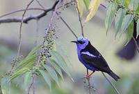 Red-legged Honeycreeper (Cyanerpes cyaneus) photo