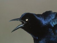 Great-tailed Grackle (Quiscalus mexicanus) photo