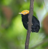 Golden-headed Manakin (Pipra erythrocephala) photo