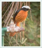 White-crowned Robin-Chat - Cossypha albicapilla