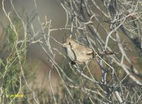 Chiming Wedgebill - Psophodes occidentalis