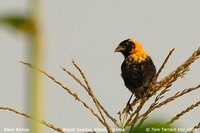 Black Bishop - Euplectes gierowii