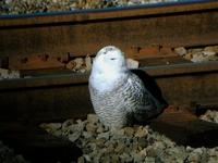 My first digiscoping shot. A snowy owl that the entire
