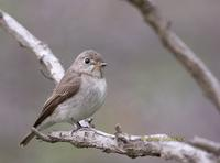 Asian brown flycatcher C20D 03594.jpg