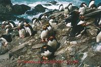 ...FT0124-00: Macaroni Penguins on their nests, with eggs. They like to nest on steep slopes. Sub A
