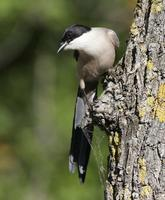 Azure-winged Magpie (Cyanopica cyana)