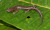 : Bolitoglossa heiroreias; Holy-mountain Salamander