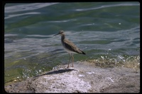 : Tringa flavipes; Lesser Yellowlegs