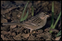: Zonotrichia atricapilla; Golden-crowned Sparrow
