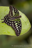 Graphium agamemnon - Tailed Jay