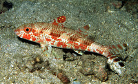 Upeneus tragula, Freckled goatfish: fisheries, aquarium
