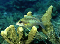 Scolopsis margaritifera, Pearly monocle bream: fisheries