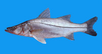 Centropomus viridis, White snook: fisheries, gamefish