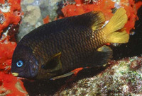 Stegastes arcifrons, Island major: